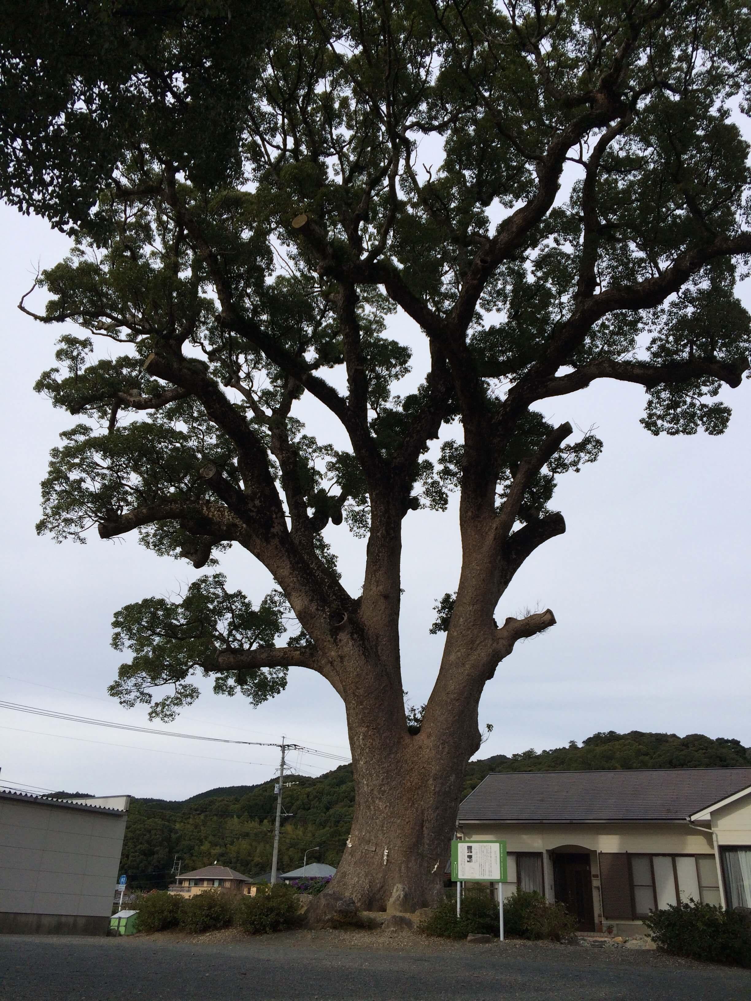 金出公民館前巨木